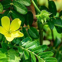 Kotvičník zemní (Tribulus terrestris) – přírodní afrodisiakum vhodné pro muže i ženy